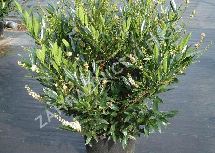 Bobkovišeň lékařská 'Otto Luyken' - Prunus laurocerasus 'Otto Luyken'