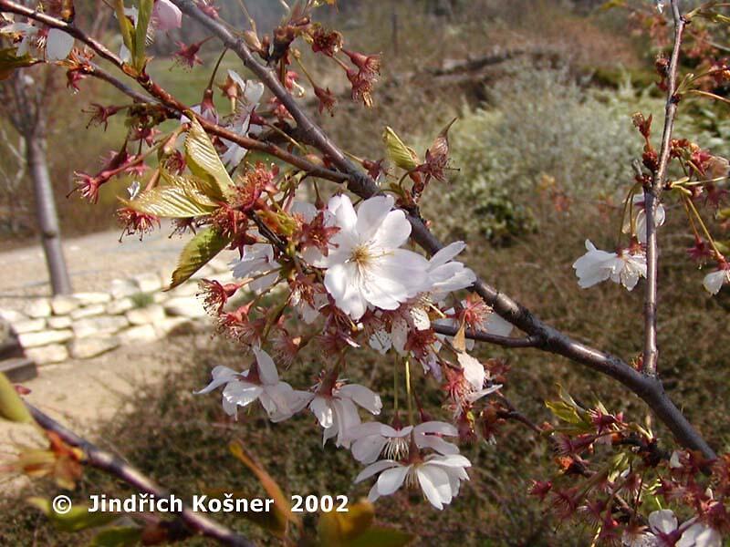 Višeň chloupkatá 'Accolade' - Prunus 'Accolade'