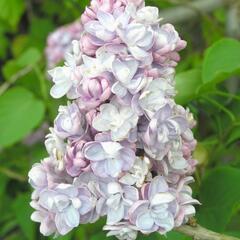 Šeřík obecný 'Michel Buchner' - Syringa vulgaris 'Michel Buchner'