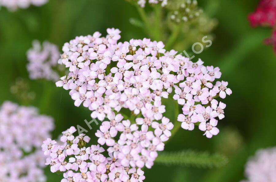 Řebříček obecný 'Cerise Queen' - Achillea millefolium 'Cerise Queen'