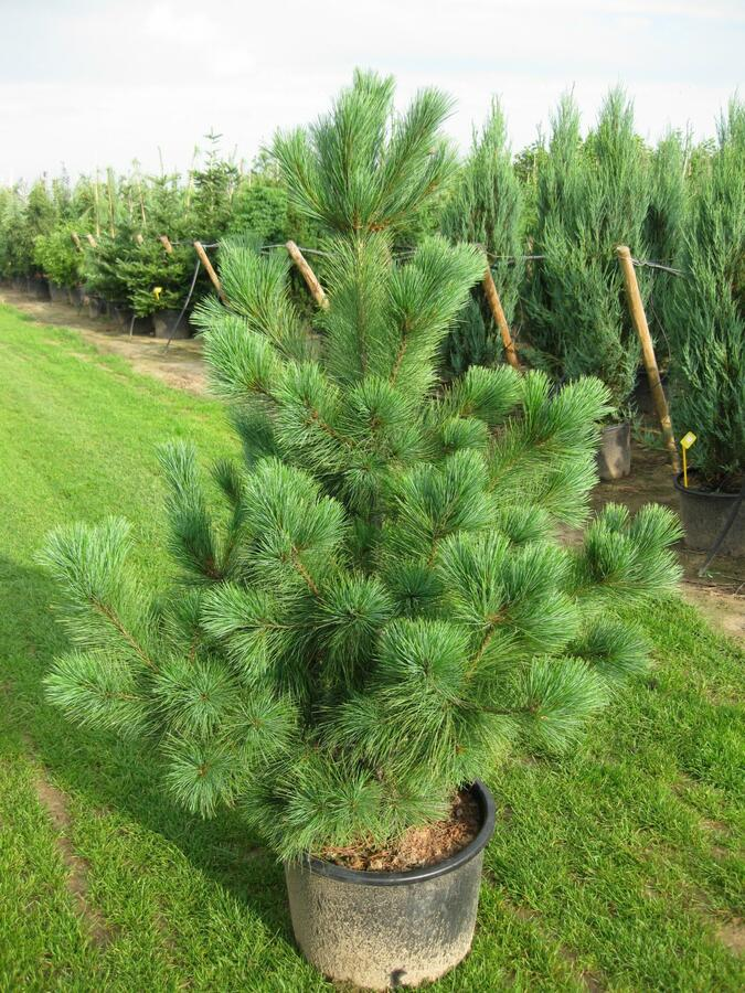 Borovice - Pinus peuce