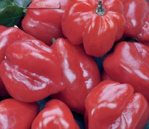 Paprika chilli 'Habanero Red' - Capsicum annuum 'Habanero Red'