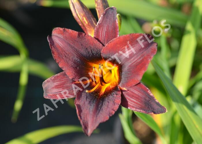 Denivka 'Sweet Hot Chocolate' PE 0,5 - Hemerocallis 'Sweet Hot Chocolate'