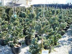 Borovice malokvětá 'Glauca' - Pinus parviflora 'Glauca'
