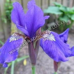 Iris sibirica 'Niklas Sea' - Iris sibirica 'Niklas Sea'