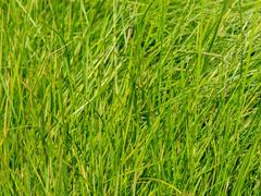 Metlice trsnatá - Deschampsia caespitosa