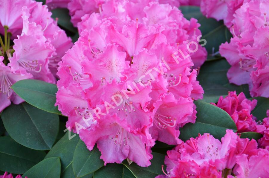 Pěnišník 'Germania' - Rhododendron (T) 'Germania'