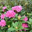 Pěnišník 'Germania' - Rhododendron (T) 'Germania'
