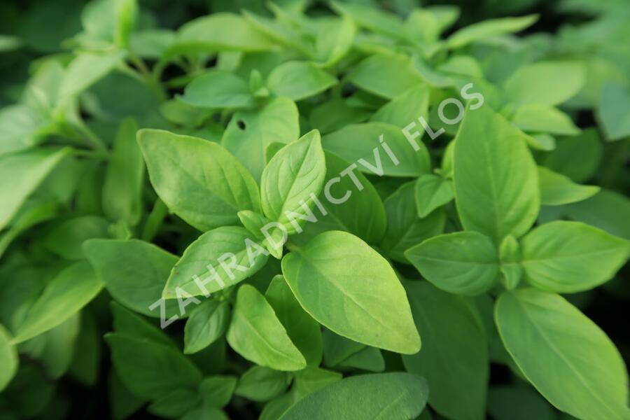 Bazalka citronová - Ocimum basilicum 'Lime'