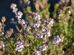 Tymián obecný - Thymus vulgaris