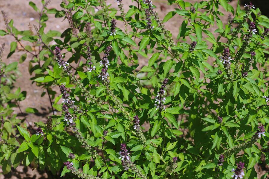 Bazalka pravá skořicová - Ocimum basilicum 'Cinnamon'