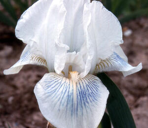 Kosatec německý 'Cutie' - Iris barbata-elatior 'Cutie'