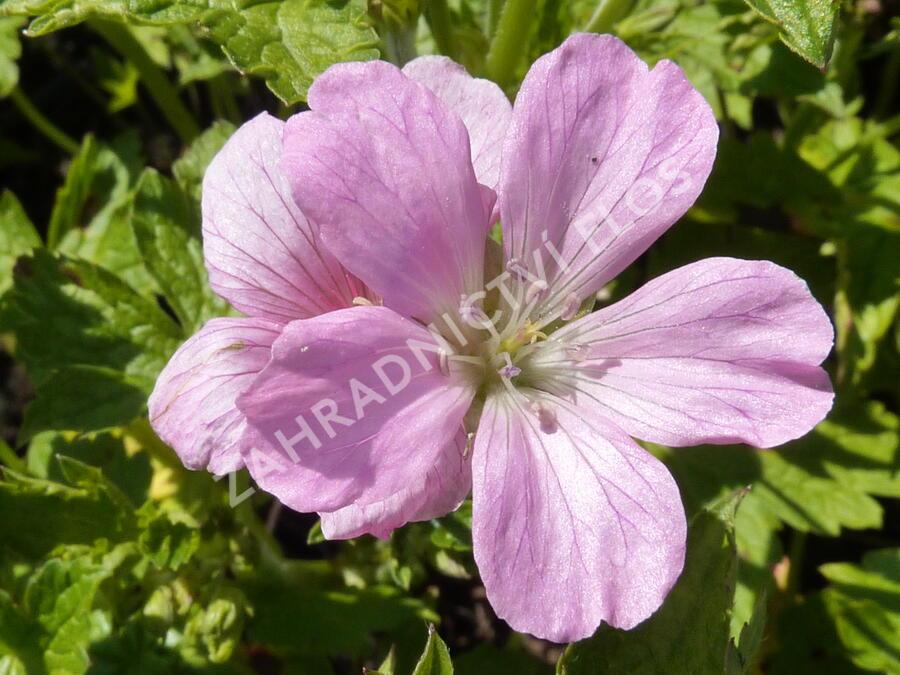 Kakost  'Rose Clair' - Geranium x oxonianum 'Rose Clair'