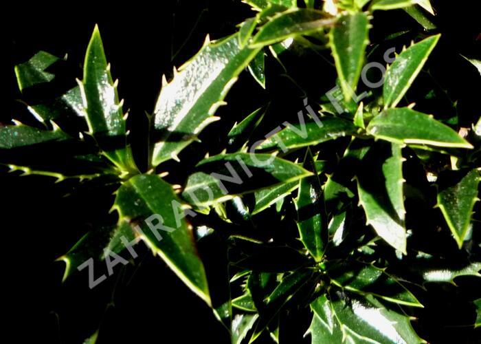 Cesmína obecná 'Myrtifolia' - Ilex aquifolium 'Myrtifolia'