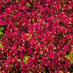 Rozchodník pochybný - Sedum spurium 'Deep Rose'