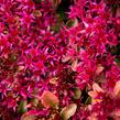 Rozchodník pochybný 'Deep Rose' - Sedum spurium 'Deep Rose'