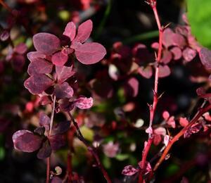 Dřišťál Thunbergův 'Pink Queen' - Berberis thunbergii 'Pink Queen'