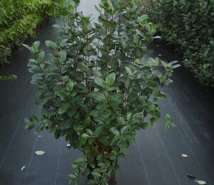 Temnoplodec černoplodý - Aronia melanocarpa