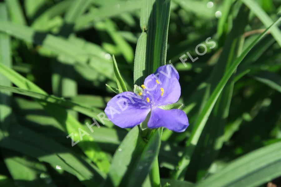 Podeňka Andersonova 'Blau' - Tradescantia andersoniana 'Blau'