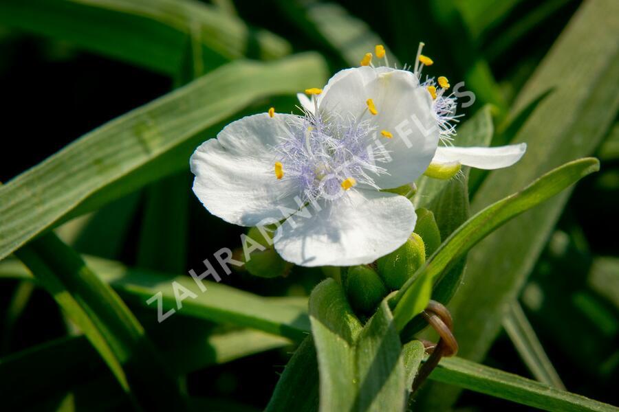 Podeňka Andersonova 'Blanca' - Tradescantia andersoniana 'Blanca'