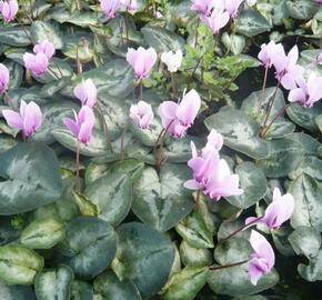 Brambořík břečťanolistý 'Silver Me Pink' - Cyclamen hederifolium 'Silver Me Pink'