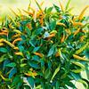 Paprika převislá 'Volante Mild Orange' F1 - Capsicum annuum 'Volante Mild Orange' F1