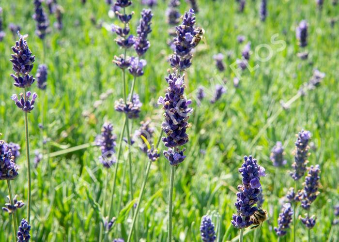 Levandule úzkolistá 'Hidcote Blue Superior' - Lavandula angustifolia 'Hidcote Blue Superior'