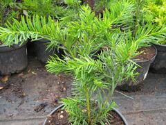 Tis japonský 'Farmen' - Taxus cuspidata 'Farmen'