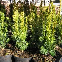 Tis červený 'Wintergold' - Taxus baccata 'Wintergold'