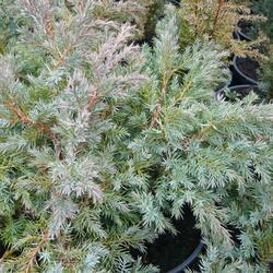 Jalovec šupinatý 'Hunnetorp' - Juniperus squamata 'Hunnetorp'