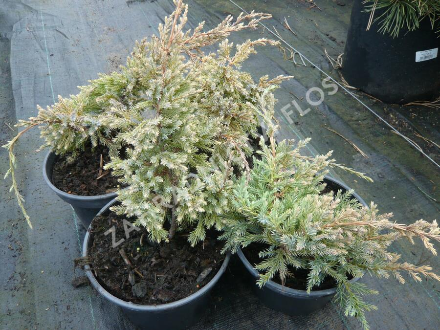 Jalovec šupinatý 'Dream Joy' - Juniperus squamata 'Dream Joy'