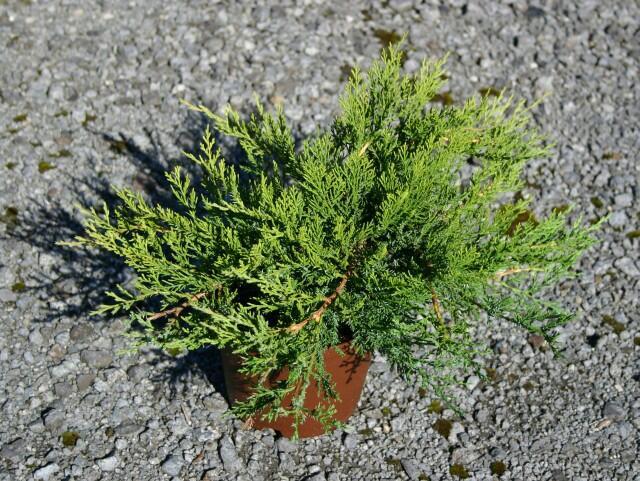 Jalovec chvojka 'Rockery Gem' - Juniperus sabina 'Rockery Gem'