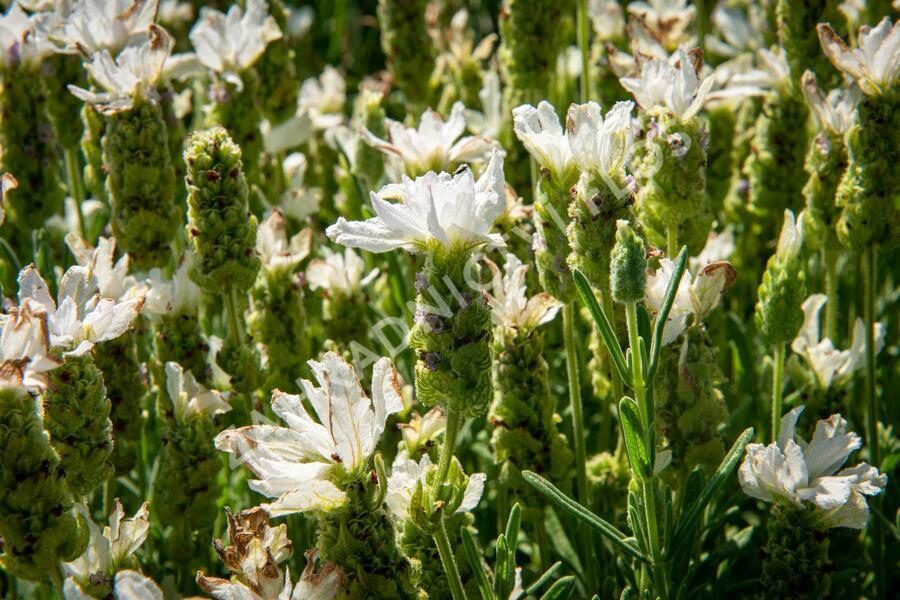 Levandule korunkatá 'Javelin White' - Lavandula stoechas 'Javelin White'