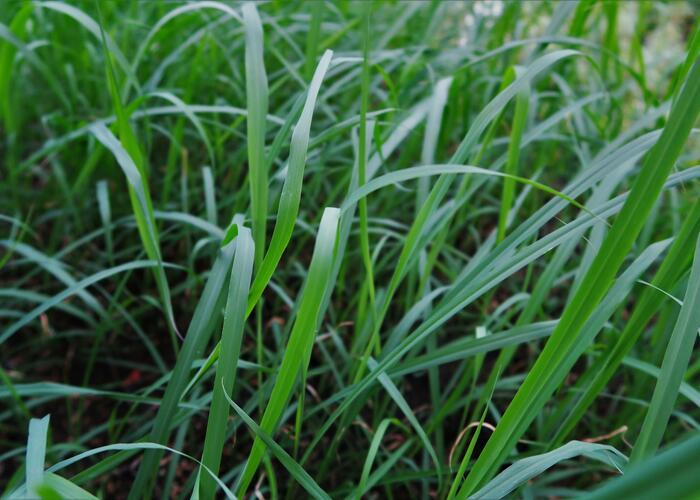 Citronová tráva - Cymbopogon flexuosus