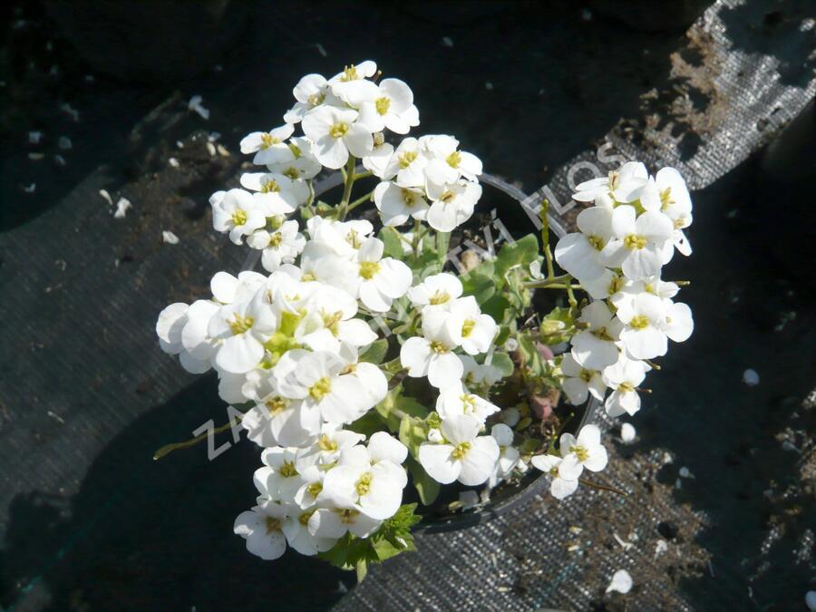 Huseník kavkazský 'Schneehaube' - Arabis caucasica 'Schneehaube'