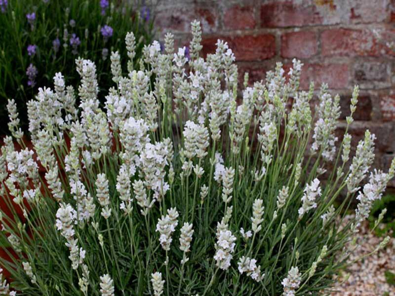 Levandule úzkolistá  'White Scent Early' - Lavandula angustifolia 'White Scent Early'