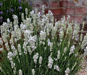 Levandule úzkolistá  'White Scent Early' - Lavandula angustifolia 'White Scent Early'