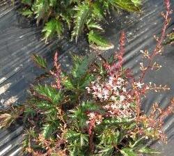Čechrava 'Inshriach Pink' - Astilbe simplicifolia 'Inshriach Pink'
