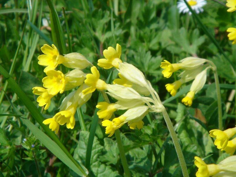 Prvosenka jarní - Primula veris