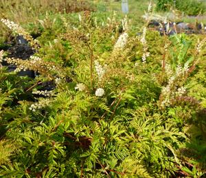 Udatna 'Noble Spirit' - Aruncus aethusifolius 'Noble Spirit'