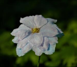 Ostrožka vyvýšená 'New Millenium Blue Lace' - Delphinium elatum 'New Millenium Blue Lace'