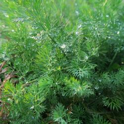 Kopr vonný 'Moravan' - Anethum graveolens 'Moravan'