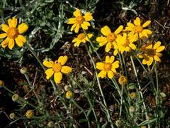 Eriophylum vlnatý - Eriophyllum lanatum