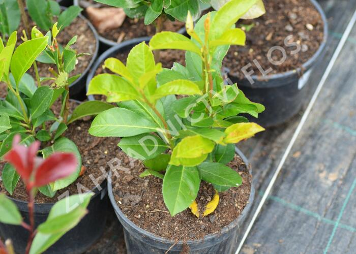 Bobkovišeň lékařská 'Etna' - Prunus laurocerasus 'Etna'