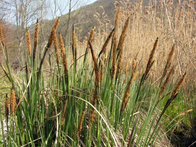 Ostřice ostrá - Carex acutiformis