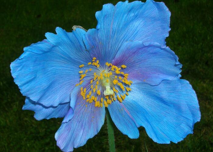 Mákovec 'Lingholm' - Meconopsis sheldonii 'Lingholm'
