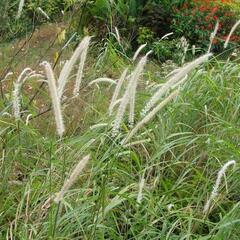Dochan 'Tall Tails' - Pennisetum orientale 'Tall Tails'