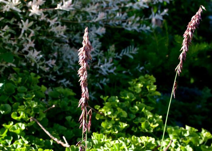 Strdivka vysoká 'Atropurpurea' - Melica altissima 'Atropurpurea'