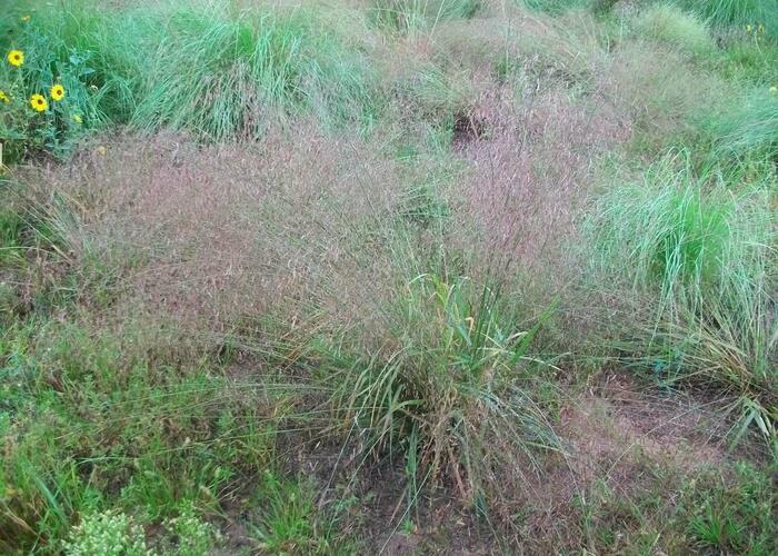 Milička - Eragrostis spectabilis