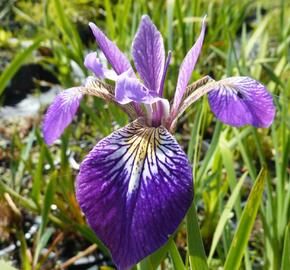 Kosatec různobarevný 'Kermesina' - Iris versicolor 'Kermesina'